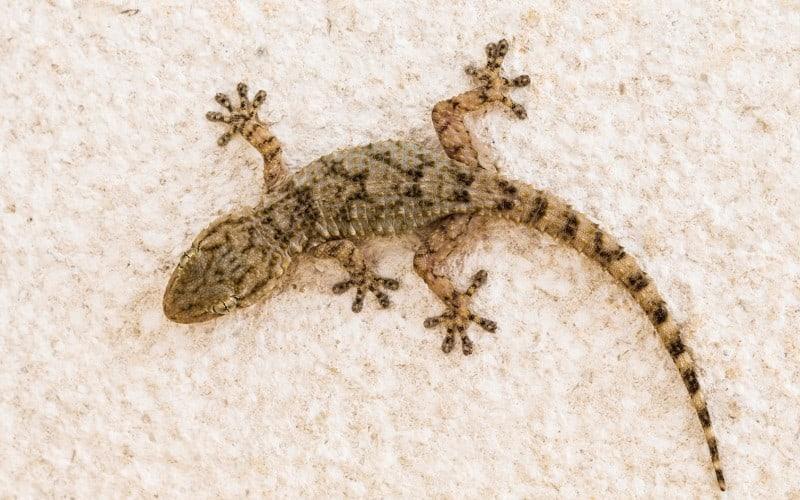 Come riconoscere un escremento di topo da un escremento di geco - Eliminare topi dal giardino ...